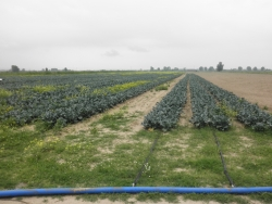 Broccoli Fields Drip irrigation
